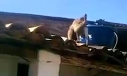 Τρόμος στο μπαρ: Μεθυσμένος πίθηκος κυνήγησε θαμώνες με τεράστιο μαχαίρι! (video)