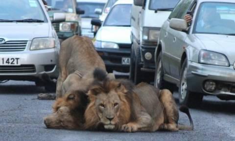 Τρόμος στο Ναϊρόμπι: Λιοντάρια το ΄σκασαν από το Εθνικό Πάρκο (videos)