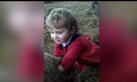 Εντυπωσιακό βίντεο: Υπερπροσπάθεια 3χρονης να ξεγεννήσει προβατίνα