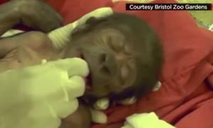 Το γοριλάκι που ήρθε στον κόσμο με καισαρική