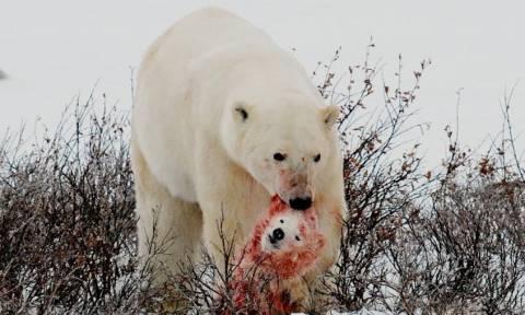 Σπάνιο και σοκαριστικό βίντεο: Πολική αρκούδα τρώει μικρό αρκουδάκι!