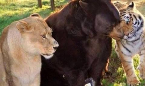 Η ασυνήθιστη φιλία ενός λιονταριού, ενός τίγρη και μιας αρκούδας!
