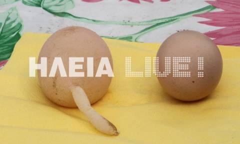 Ηλεία: Το αυγό που κάνει θραύση στο Διαδίκτυο–Έμειναν με το στόμα ανοιχτό με αυτό που είδαν (video)