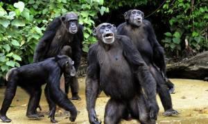 Απίστευτο κι όμως αληθινό; Οι χιμπατζήδες πιστεύουν στο Θεό! (βίντεο - ντοκουμέντο)