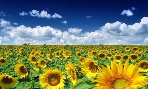 Ηλίανθος: Χρυσοφόρα ενεργειακή καλλιέργεια