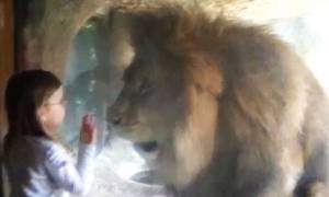 Κοριτσάκι στέλνει ένα φιλί σε… λιοντάρι – Η αντίδρασή του θα σας εκπλήξει! (video)