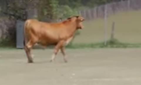 Απίστευτο: Ταύρος το έσκασε και μπήκε σε γήπεδο... (video)