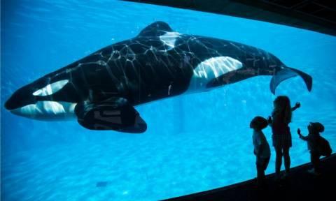 To SeaWorld τερματίζει το πρόγραμμα αναπαραγωγής για τις φάλαινες - δολοφόνους