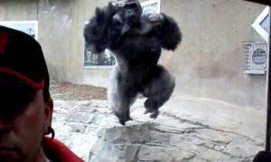Βίντεο που κόβει την ανάσα: Η τρομακτική επίθεση ενός γορίλα σε τουρίστα!