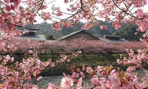 Εντυπωσιακές εικόνες: Οι κερασιές έφεραν την άνοιξη στην Ιαπωνία!