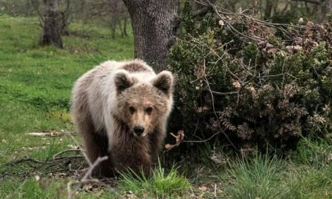 Ελεύθερος στη φύση ο Πάτρικ, το ορφανό αρκουδάκι που φρόντιζε ο «Αρκτούρος» (pics)