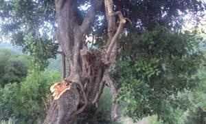 Φωκίδα: Σε κρίσιμη κατάσταση 23χρονος που καταπλακώθηκε από κορμό δέντρου