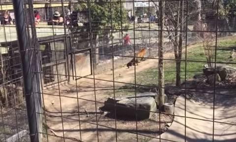 Βίντεο σοκ: Πήδηξε στο κλουβί με τις τίγρεις για να πιάσει το… καπέλο της!