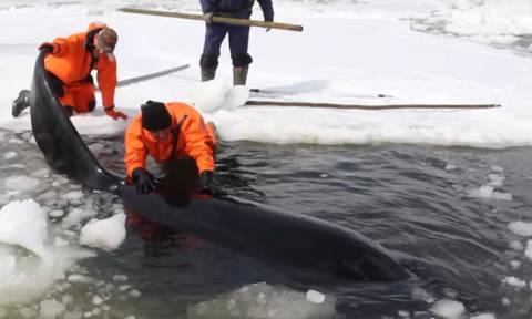 Εντυπωσιακό βίντεο: Γιγαντιαία επιχείρηση διάσωσης φαλαινών που παγιδεύτηκαν σε παγωμένα νερά!