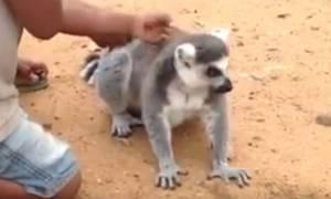 Επικό βίντεο: Ο αξιαγάπητος λεμούριος που λατρεύει το... ξύσιμο!