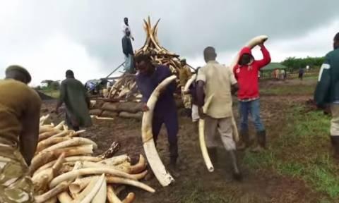 Κένυα: 105 τόνοι ελεφαντόδοντου θα καούν σήμερα Μ. Σάββατο (video)