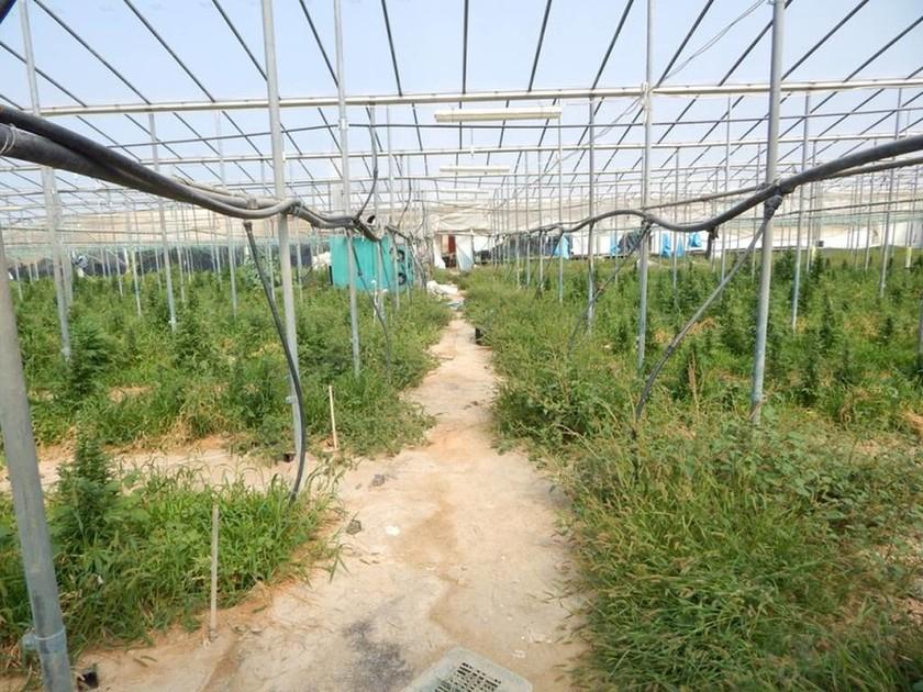 Λασίθι: Πατέρας και γιος δεν φύτευαν ντομάτες στο θερμοκήπιο (pics)