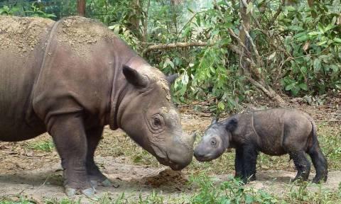 Γεννήθηκε σπάνιος ρινόκερος της Σουμάτρας σε φυσικό καταφύγιο της Ινδονησίας (pic)