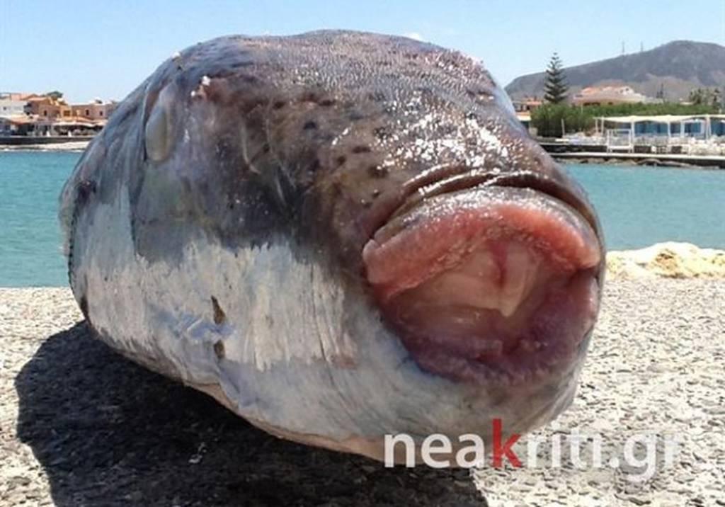 Τρόμος στην Κρήτη - Δείτε το ψάρι που τρώει ακόμα και τα αλιευτικά εργαλεία (photo)