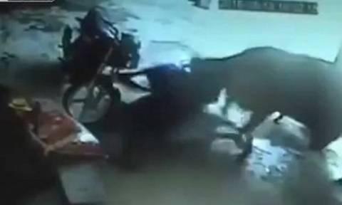 Απίστευτο και όμως αληθινό: Αγελάδα προσπαθεί να αποτρέψει τη δολοφονία κοριτσιού (video)