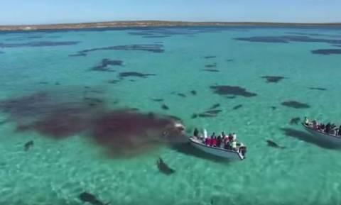 Βίντεο-τρόμος! 70 καρχαρίες τίγρεις κατασπαράζουν μια φάλαινα