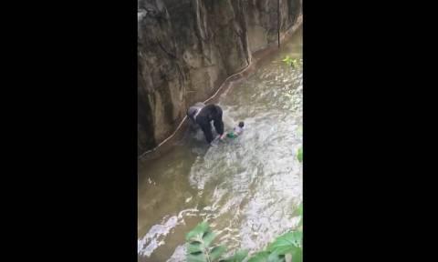 Οργή για το θάνατο του γορίλα που «άρπαξε» τον 4χρονο στο ζωολογικό κήπο (video)