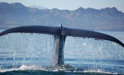 Η σπάνια φάλαινα που εμφανίστηκε νότια της Κρήτης (vid)