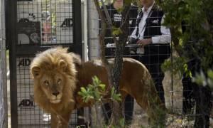 Νότια Αφρική: Πέθαναν δύο από τα λιοντάρια που είχαν διασωθεί από τσίρκα της Νότιας Αμερικής