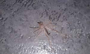 ΠΡΟΣΟΧΗ! Εντοπίστηκε αράχνη δολοφόνος στην Ελλάδα (pics)
