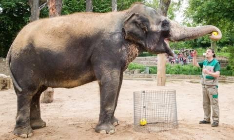Euro 2016: Τι προβλέπει η ελεφαντίνα για τον τελικό; (vid)