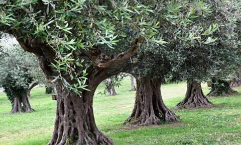 Διαβάστηκε για πρώτη φορά το πλήρες γονιδίωμα του δέντρου της ελιάς