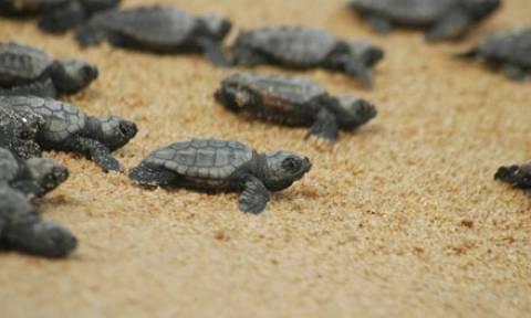 Οι χελώνες καρέτα - καρέτα «κατακτούν» τις ακτές της Κέρκυρας