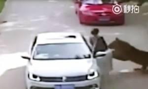 Βίντεο σοκ: Βγήκε από το αυτοκίνητο και την κατασπάραξε τίγρης! (vid)