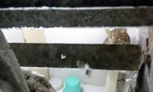 Ταξίδι που θα θυμούνται για πάντα: Λεοπάρδαλη μπούκαρε στο δώματιό τους (vid)