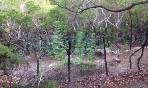 Σαμοθράκη: Οι αρχές εντόπισαν «δάσος» από κάνναβη (pics)