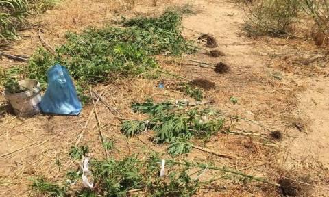 Νάξος: Διατηρούσαν δενδρύλλια κάνναβης με… καμουφλάζ (pics)