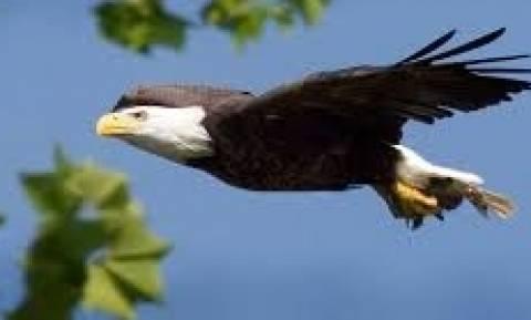 Φαλακρός αετός αρπάζει από τη φωλιά του ψαραετό (video)