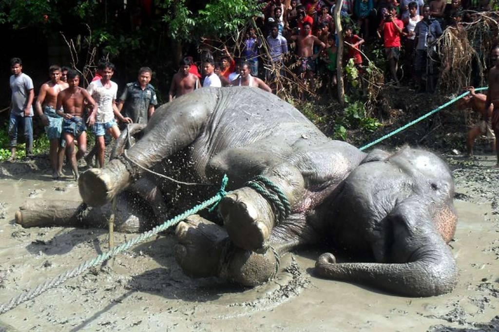 Μάχη εκατοντάδων χωρικών σε βάλτο για να σώσουν ελεφαντίνα από βέβαιο πνιγμό (Vid)