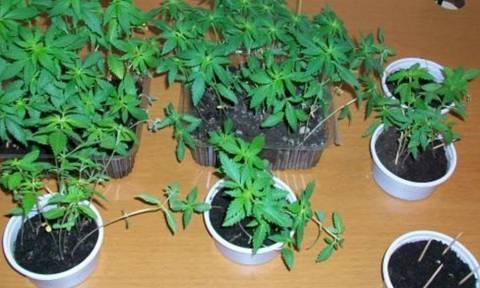 Κέρκυρα: Εντοπίστηκε εργαστήριο καλλιέργειας δενδρυλλίων κάνναβης
