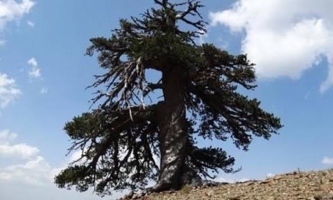 Ο «Άδωνις» στην Πίνδο είναι το γηραιότερο δέντρο της Ευρώπης
