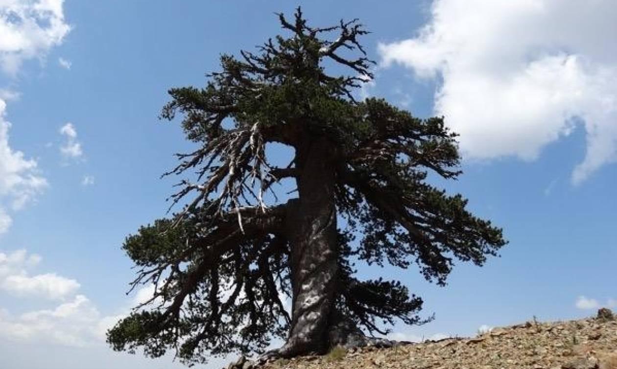 Αυτό είναι το αρχαιότερο δέντρο της Ευρώπης και βρίσκεται στην Ελλάδα