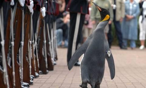 Απίστευτος τύπος: Πιγκουίνος και… σερ και ταξίαρχος! (videos)