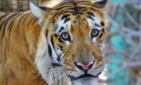 Λουκέτο στον χειρότερο ζωολογικό κήπο του κόσμου - Αίσιο τέλος για 15 ζώα (vid)