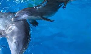 Τέσσερα δελφίνια από την Φινλανδία χαίρονται τον Αττικό ουρανό για πρώτη φορά