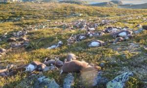 Πρωτοφανές περιστατικό: Κεραυνός σκότωσε εκατοντάδες ταράνδους στη Νορβηγία! (vid)