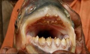 Τρόμος στη Δοϊράνη: Ψάρεψαν κόκκινα πιράνχας του Αμαζονίου