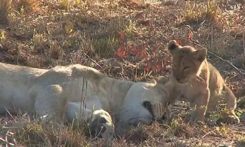 Η τρυφερή αντίδραση μιας λέαινας όταν την ξυπνάει το μικρό της! (vid)