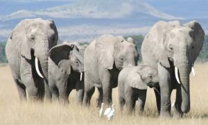 Το τέλος των ελεφάντων πλησιάζει