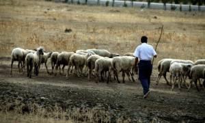 Κομοτηνή: Δημόσιοι κτηνίατροι «έγδυναν» κτηνοτρόφους με δήθεν μολυσμένα