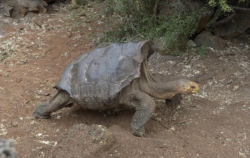 Τον λένε Ντιέγκο, είναι… σεξομανής και έσωσε τις χελώνες από την εξαφάνιση! (video+photos)